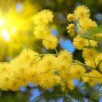 Significado de la flor de acacia