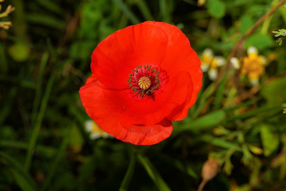 Significado de la flor de amapola
