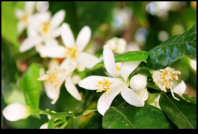 Significado de la flor de azahar
