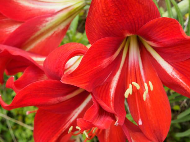 Significado de la flor de azucena