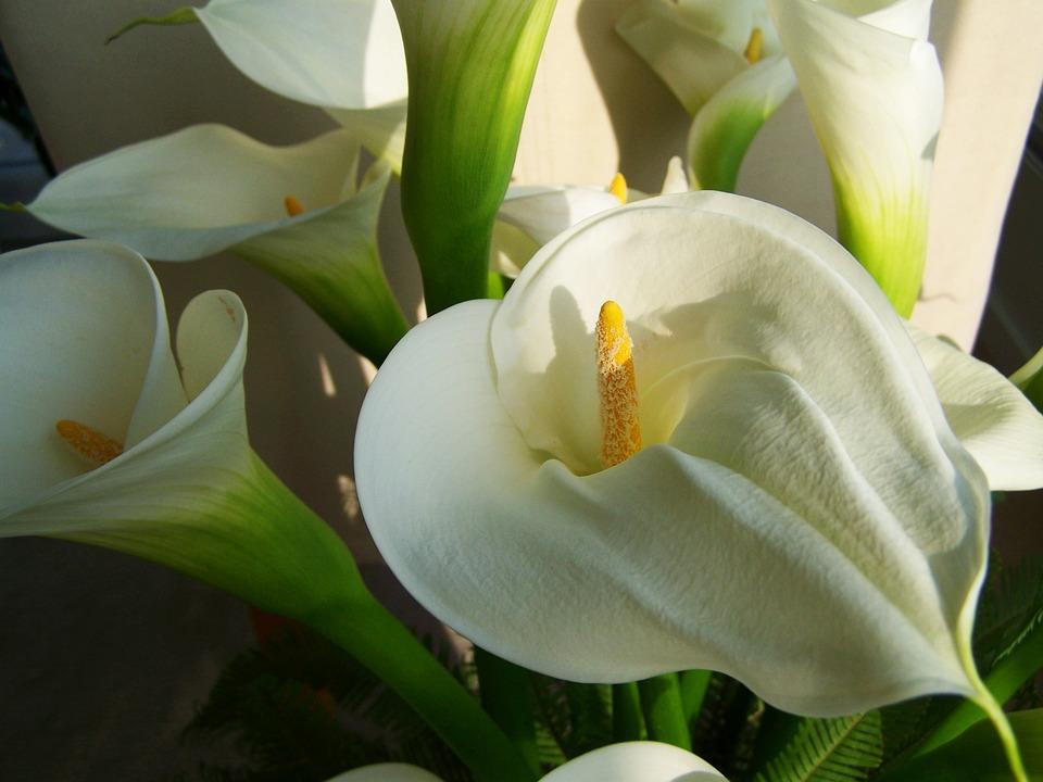Significado de la flor de cala