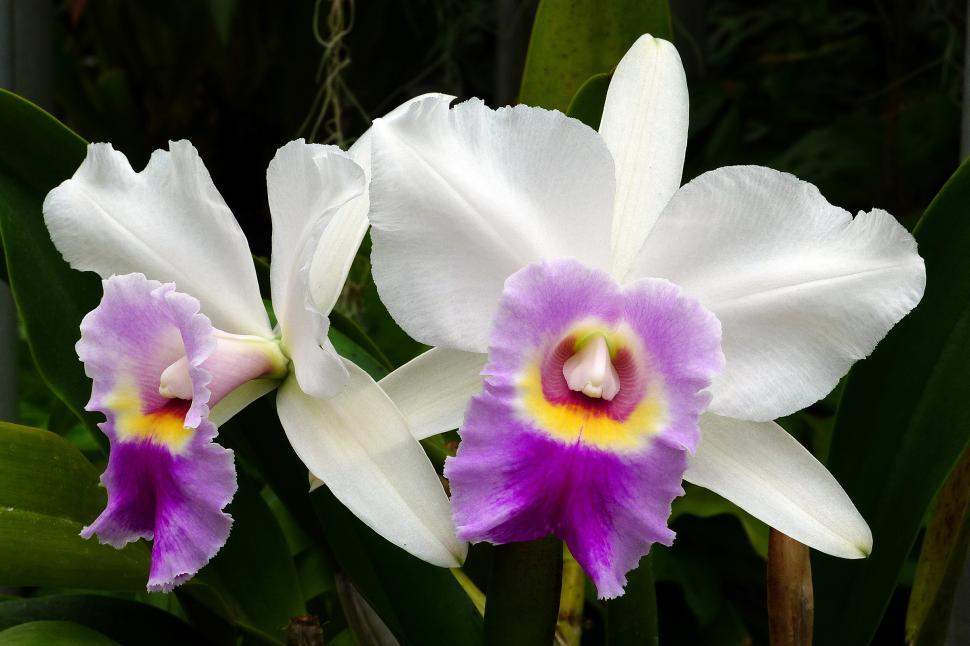 Significado de la flor de catleya