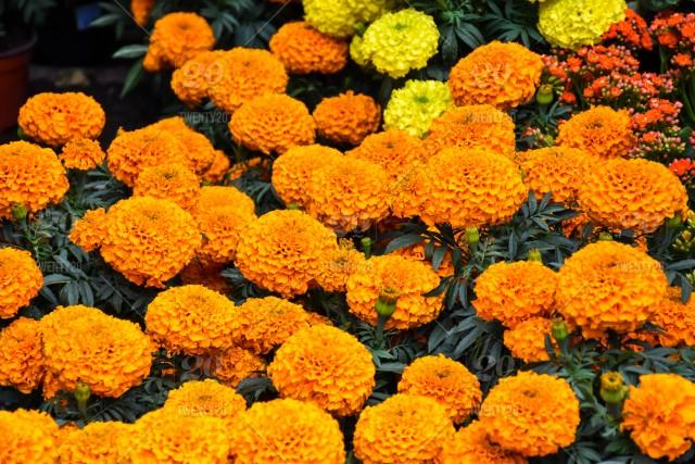 Significado de la flor de cempasuchil