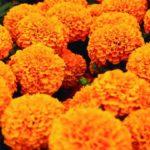 Significado de la flor de cempasúchil