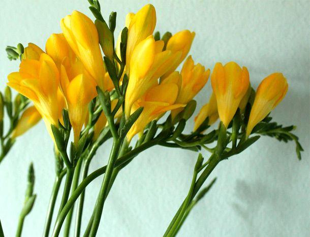 Significado de la flor de fresia