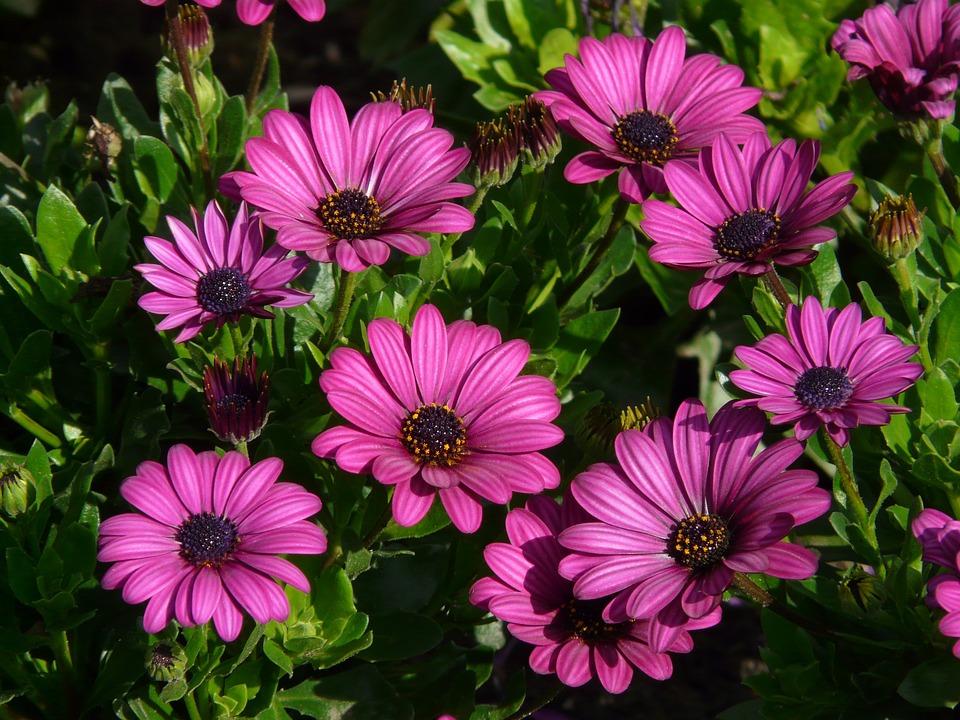 Significado de la flor de gerbera