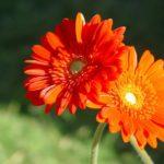 Significado de la flor gerbera
