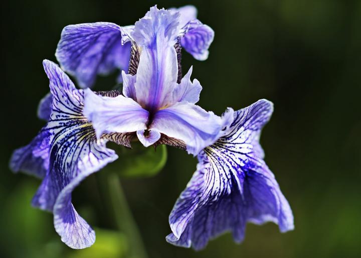 Significado de la flor de iris
