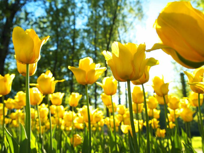 Significado de la flor de la felicidad
