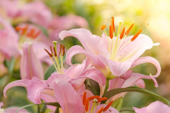 Significado de la flor de lili