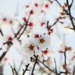 Significado flor de almendro