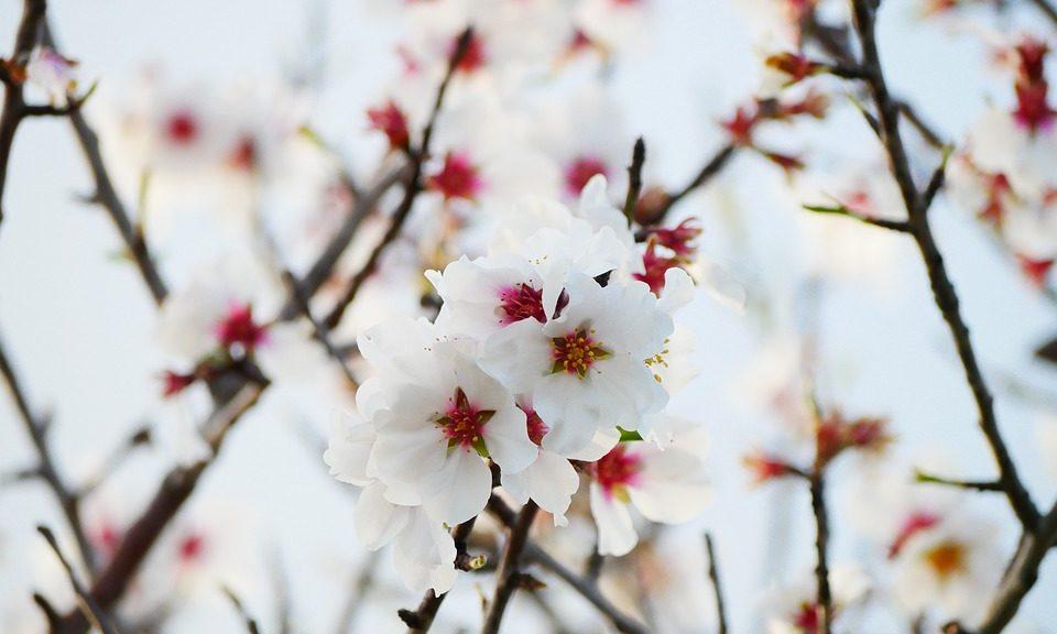 Significado de la flor del almendro