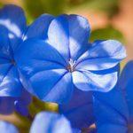 Significado de la flor del jazmín