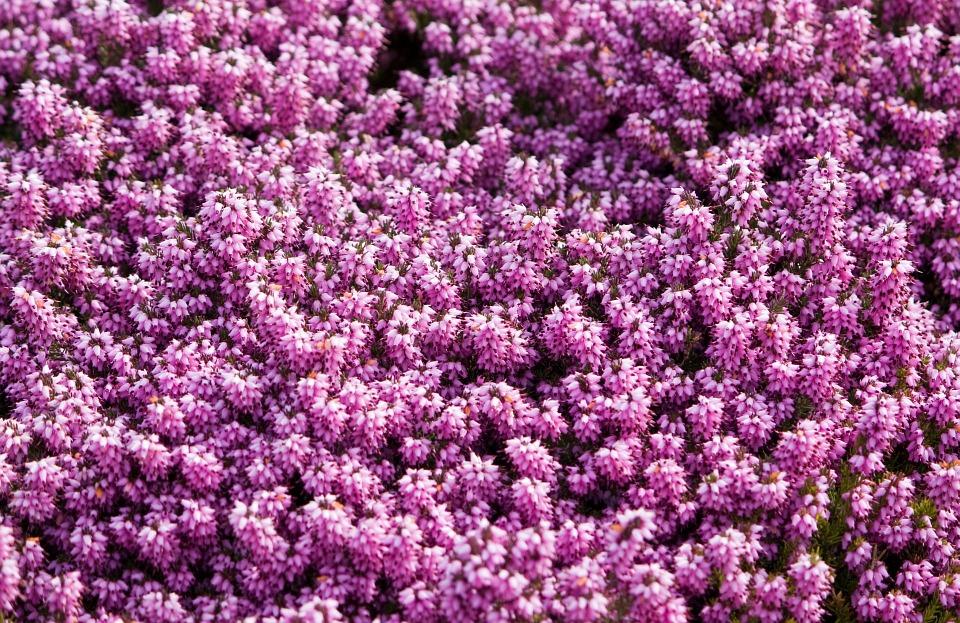 Significado de la flor erica