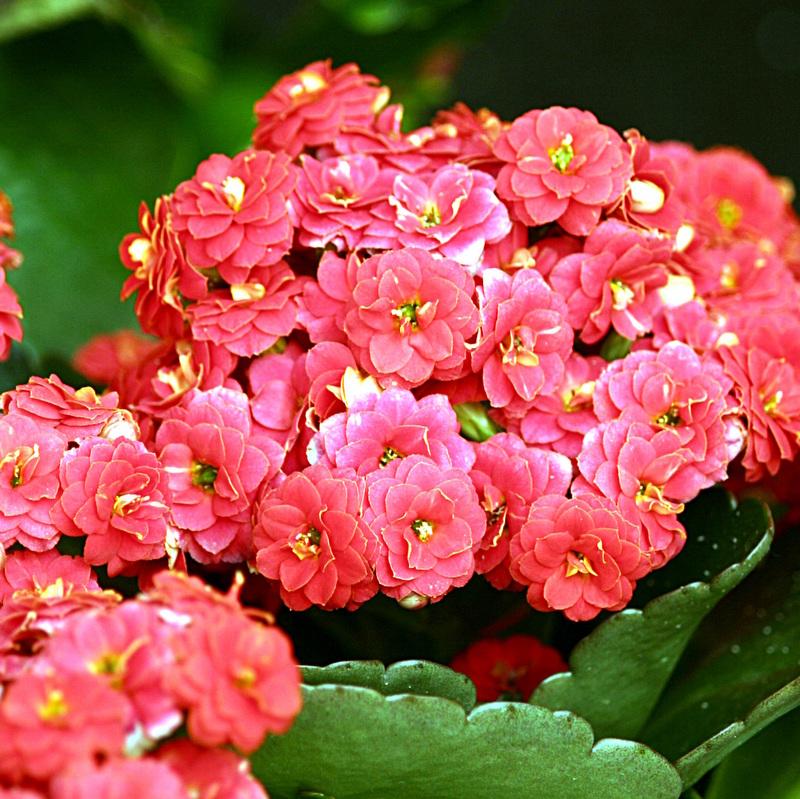 Significado de la flor kalanchoe