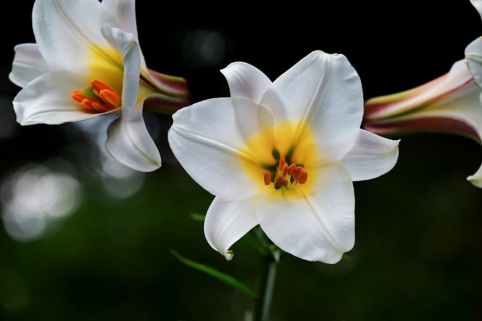 Significado de la flor muguete lirios