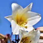 Significado de la flor muguete