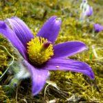 Significado de la flor de las peonias