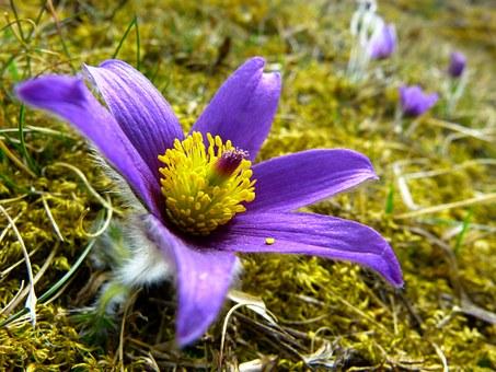 Significado de la flor pulsatilla