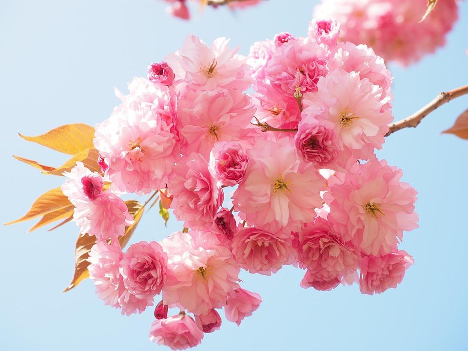Significado de la flores japonesas