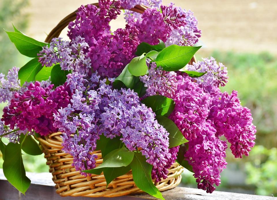 Significado de las flores lilas