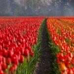 Significado de las flores rojas