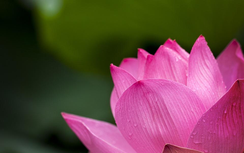 Significado de las flores rosas