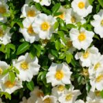 Significado de las gardenias