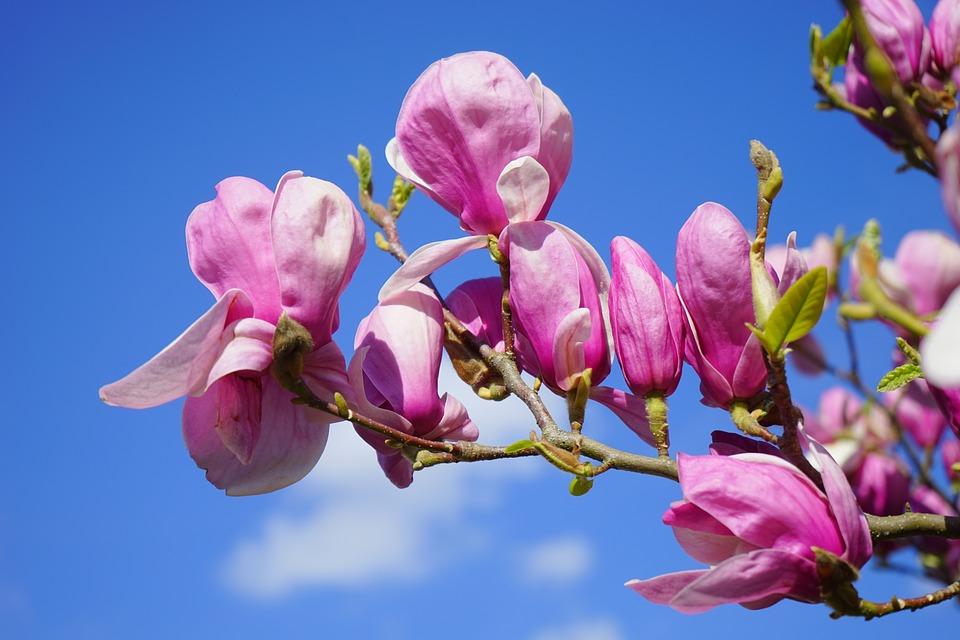 Significado de las magnolias