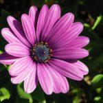 Significado de las violetas