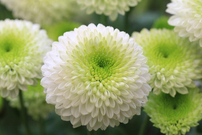 Significado de los crisantemos